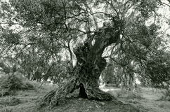 Old Olive. The ancient olive tree at utjeha montenegro Royalty Free Stock Image