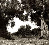 Old olive garden on the foreground and in perspective. Surrealistic garden, age-old monumental trees, vigour, south italy, health symbol, green, oddities, nature Stock Photography