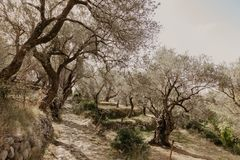 Old olive grove stock photos