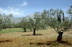 Old Olive Grove. An old olive grove at Lyguirio in Ancient Greece with blue hills behind Royalty Free Stock Photo