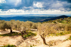 Old olive grove near Alaro Stock Photography