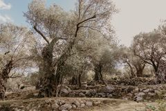 Old olive grove royalty free stock photo