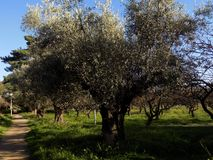 Old olive grove. In a park in Athens , Greece stock images