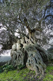 Old olive. The old and large olive tree with 600 years of life. The old plant draws its knots with imaginary figures Stock Images