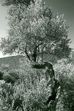Old olive tree. Shoot at utjeha montenegro Stock Photos