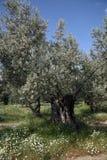 Old Olive Tree. In altinoluk,Canakkale,Turkey Stock Photo