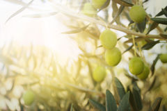 Old olive tree. Olives on olive tree in autumn. Season nature image Stock Photography