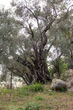 Old olive tree Stock Photography