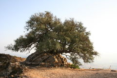 Old olive-tree Stock Images