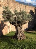 Old olive tree. In the inner ward of an castle Royalty Free Stock Photo