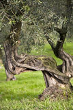 Old olive tree. Old and knobbly olive tree in the sun in a green lawn Royalty Free Stock Image