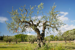 The old olive tree Royalty Free Stock Photography