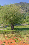 Old olive tree with antique ruins Royalty Free Stock Photo