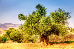 Old olive tree. In the Beit Netofa Valley in Central Galilee in Israel Royalty Free Stock Images