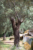 Old olive tree with bushy branches Royalty Free Stock Images