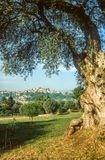 Old olive tree in Cagnes-sur-Mer Royalty Free Stock Photo