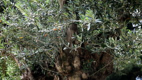 An old olive tree stock footage