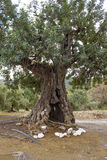 Old olive tree Stock Photo