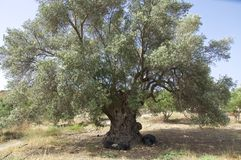 Old Olive Tree on Crete Stock Images
