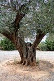 Old olive tree detail Stock Photography