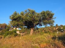 An Old Olive Tree, Early Morning Light Stock Photos