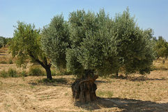 Old olive tree on a farm in Spain. Beautiful old olive tree in a typical Spanish plantation producing the fruit with the same name, of major agricultural Royalty Free Stock Photography