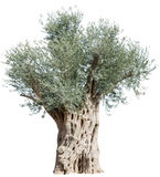 Old olive tree. Royalty Free Stock Photo