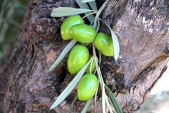 An old olive tree with fruits. Mediterranean old olive tree with fruits Stock Photography