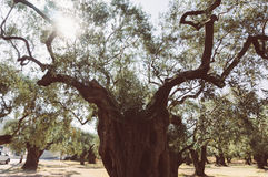 Old olive tree Royalty Free Stock Photos