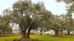 The old olive tree stock video