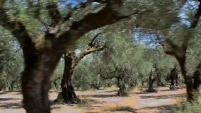The olive grove. The old olive tree grove of the Zakynthos island, Greece stock footage