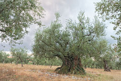 Old olive tree growing in Umbria, Italy Stock Photo