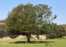 The old olive tree hid in the shadow of three goats. Stock Photo