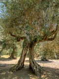 Old olive tree on on Isola Maggiore in Trasimeno Lake in Umbria Stock Photos