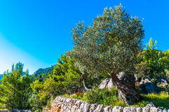 Old olive tree on Mallorca Stock Photography