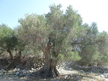 Old Olive. Tree, Olive, nature, oil Royalty Free Stock Images