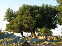 Old olive tree on Pag island. Croatia, Adriatic sea Stock Image