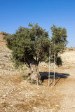 The old olive tree is resting on his metal stepladder. The old olive tree growing on a stony slope. By a tree leaning against a metal ladder Royalty Free Stock Photos