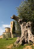 Old olive tree and San Altimo Abbey Stock Image