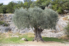 Old olive tree Stock Images