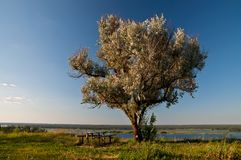 Old olive tree, table and benches on Dnieper river Stock Images