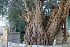 Old olive tree in a cypriot village stock photo