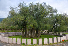 The old olive tree. Olive trees in the park Stara Maslina near the Bar city at Montenegro Stock Photography