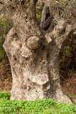Old Olive Tree Trunk Royalty Free Stock Photos