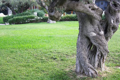 Old olive tree trunk Stock Photography