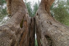 Old olive tree trunk. Close-up, bottom up view stock photo