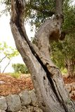 Old olive tree trunk split by old age Stock Photo