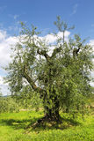 The old olive tree in the Tuscan countryside Stock Photo