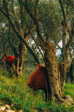 Old olive tree in tuscany, italy Royalty Free Stock Images