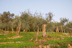 Old olive tree in tuscany, italy Royalty Free Stock Image